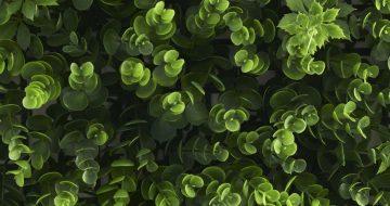 Kunsthaag Buxus Grof Vegetatie top
